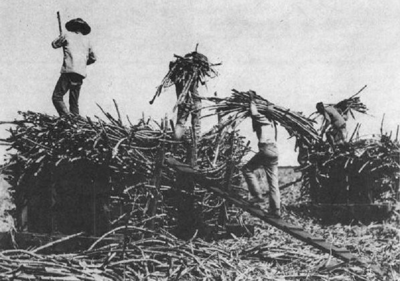 Chinese laborers, many of whom were basically indentured servants, work a sugar plantation in Hawaii in the 1900s.
